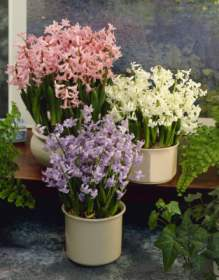 Plant hyacinths indoor for a christmas display - Planting hyacinths indoors ...